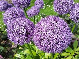 primo piano di fiori viola allium foto