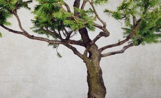 albero di pino verde