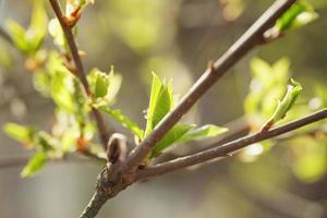 giovani foglie di ciliegio in mattinata di primavera