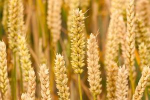 raccolto di grano