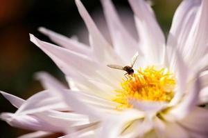 crisantemi bianchi foto