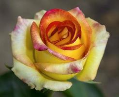 fiori di rosa