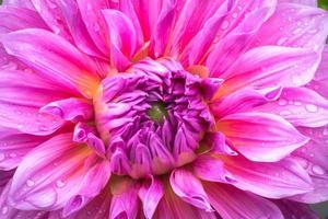 primo piano fiore rosa dalia