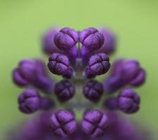 boccioli viola lilla specchiati. foto