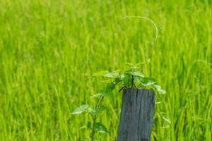 sfondo del campo di riso