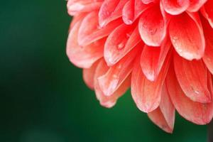 petali di fiore dalia con goccioline d'acqua