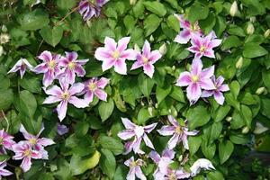 fiore di clematide (clematide) foto