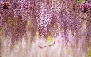 serie di fiori primaverili, traliccio di glicine