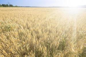 campo di grano e cielo blu