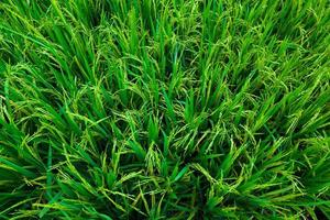 sfondo verde lussureggiante risaia foto