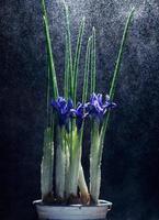 fiori di iris su sfondo nero