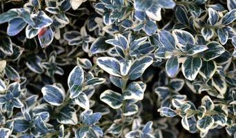 edera variegata