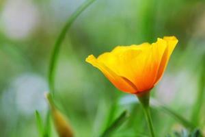 Close up della California papavero fiore