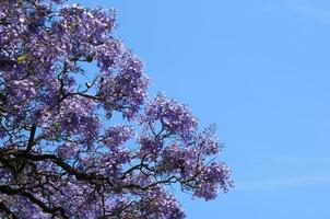 albero di jacaranda