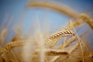 grano giallo foto