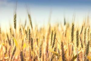 campo di cereali