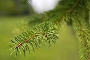 ramo di un albero di larice foto