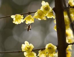 fiore di prugna e ape, 梅花 foto