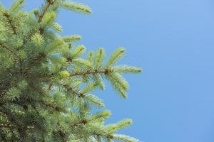 primo piano di un ramo di un albero di pino foto