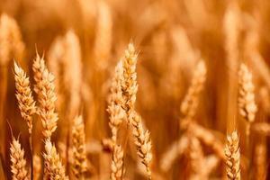 spighe di grano giallo foto