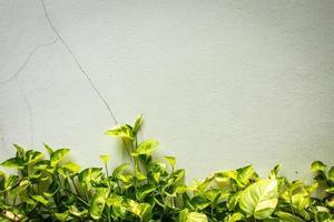 edera verde sul muro foto