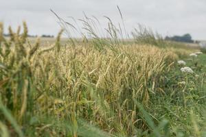 campi di grano foto