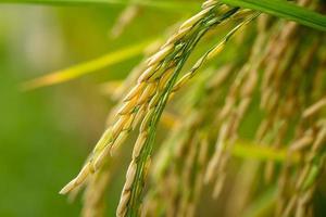 spiga di riso