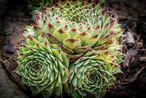 cluster di cactus foto