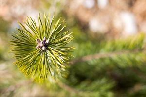 vista dettagliata degli aghi al pino giovane