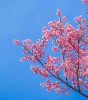 fiore di ciliegio rosa su sfondo blu cielo