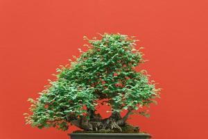 bonsai di zelkova foto