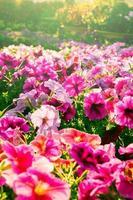 fiori di colore rosa in luce stile vintage. foto