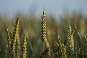 grano pronto per il raccolto