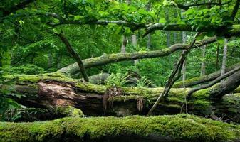 tronco avvolto in muschio di quercia morto sdraiato con felci