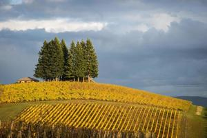 vigneti autunnali, valle willamette, oregon