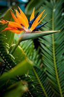 fiore di uccello del paradiso foto