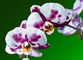 orchidea su sfondo verde foto