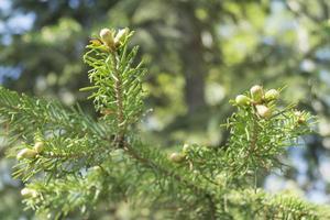 ramo di primavera di abete