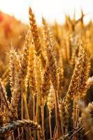 sfondo di maturazione spighe di campo di grano giallo foto