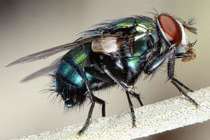 primo piano di una mosca di casa