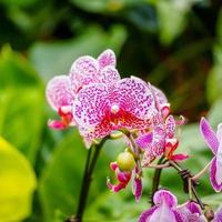 bellissime orchidee, phalaenopsis, in serra