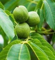 noci verdi sull'albero