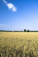 campo di grano contro il cielo blu