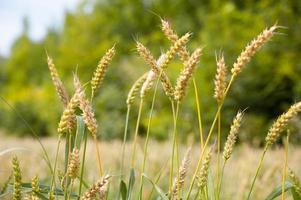 primo piano di spighe di grano maturo foto