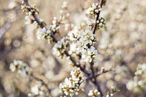 prugnolo in fiore foto