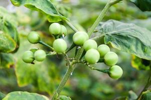 albero di bacche di tacchino verde