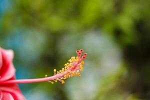 polline di fiori di ibisco.