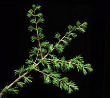 ramo di larice