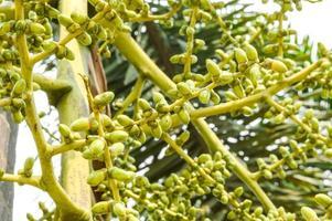 palma da seme verde foto