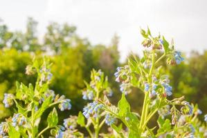 fiori di campo blu